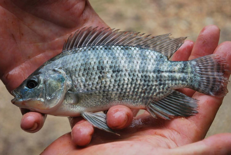 Actions to exclude Tilapia from the MDB