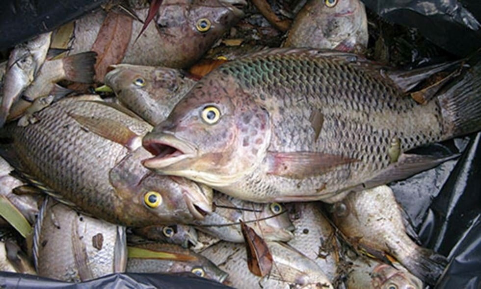 Reducing the risk of Tilapia
