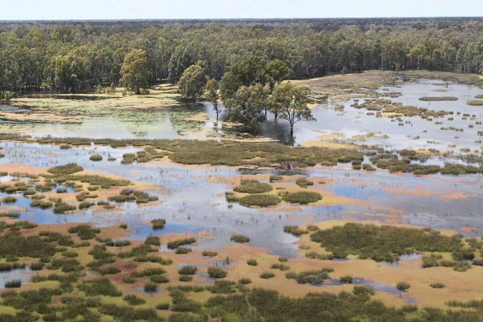 Effects of environmental flow allocations on the lateral movements of native fish in the Barmah-Millewa Forest