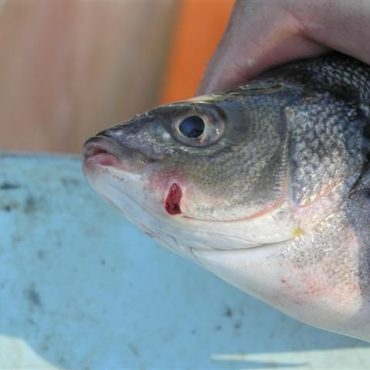 Silver perch wounded after passing through an undershot weir. Photo Credit: Jonathon Doyle